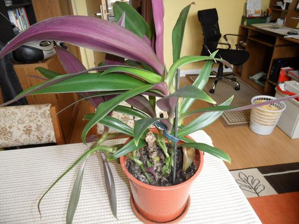 die gleiche Dreimasterblume - (Pflanzen, Blumen, Zimmerpflanzen)