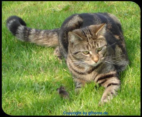 Katze in Lauerstellung  - (Katze, Katzen, Garten)