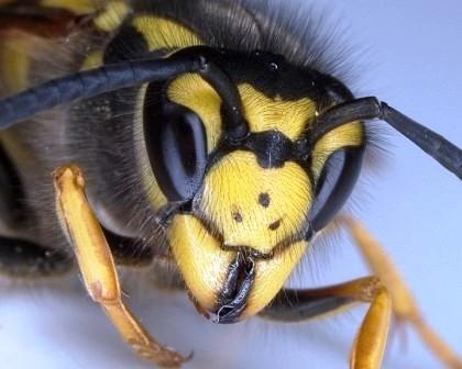 wespennest wie gro wird das teil noch natur insekten wespen. Black Bedroom Furniture Sets. Home Design Ideas