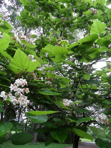 blühender Trompetenbaum - (Pflanzenpflege, kürzen, Trompetenbaum)