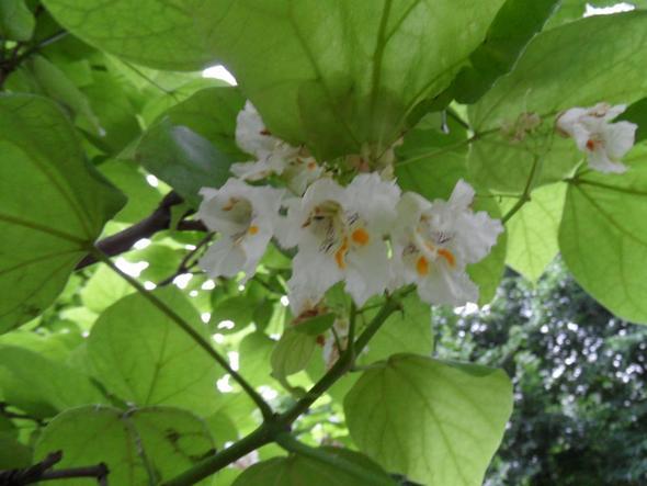 Die Blüte des Trompetenbaumes - (Pflanzenpflege, kürzen, Trompetenbaum)