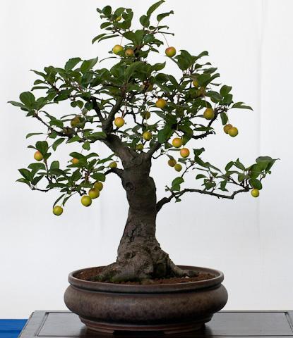 zierapfel bonsai, bonsai-als-hobby.de - (Garten, Pflanzen, Baum)