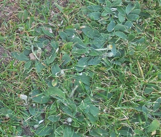 Wer kennt das Unkraut im Rasen? (Garten, Pflanzen)