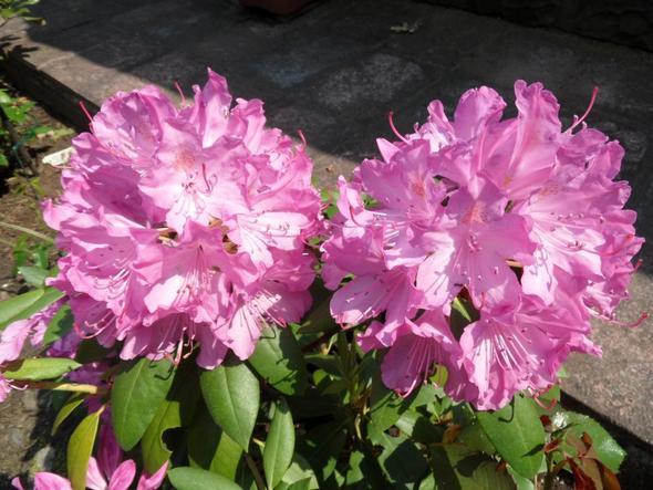 rosablühende Hortensie - (Garten, Pflanzen, Blumen)