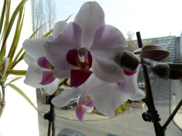 meine Orchidee in weiß mit lila - (Blumen, Pflanzenpflege, Orchideen)