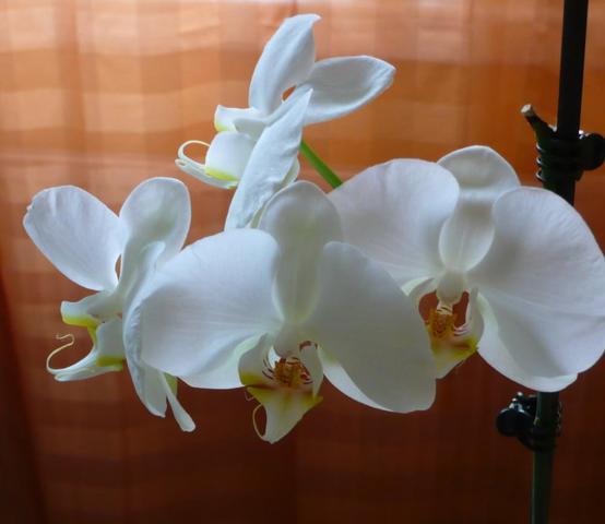 weiße Orchidee - (Blumen, Pflanzenpflege, Orchideen)