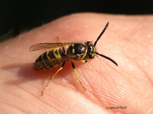 Wespe - (Tiere, Schmerzen, Garten)