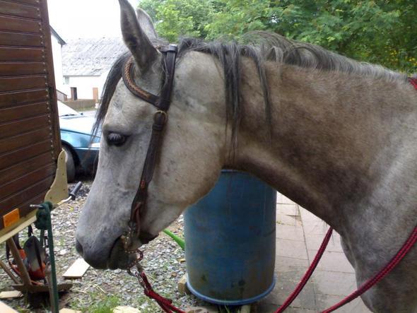 Einohrtrense - (Pferde, trense)