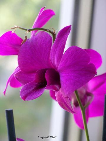 Dendrobium - (Pflanzenpflege, Orchideen)