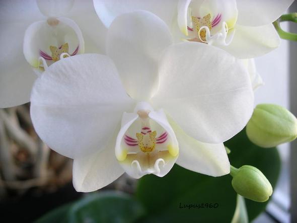 ich habe 2 orchideen geschenkt bekommen und habe keine. Black Bedroom Furniture Sets. Home Design Ideas