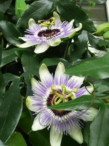 Passionsblüten - (Garten, Pflanzen, Blumen)