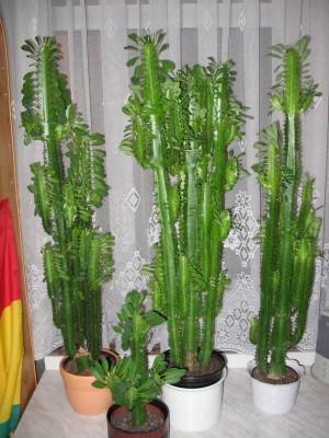 katus oder euphorbia pflanzen zimmerpflanzen kaktus. Black Bedroom Furniture Sets. Home Design Ideas