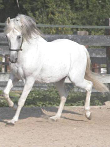 Berber - (Pferde, reiten, Rasse)