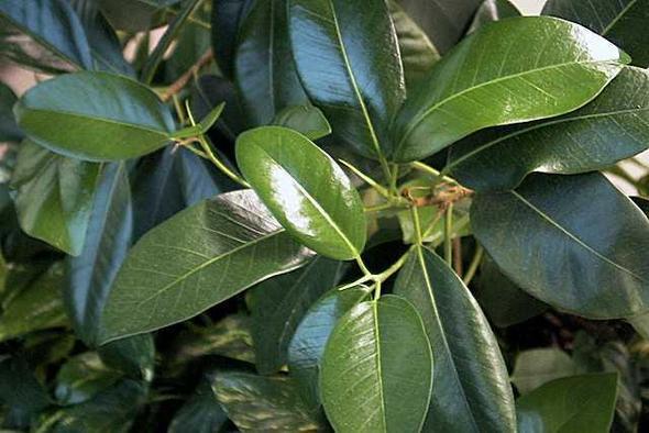 Blumenpflege f r gummibaum pflanzenpflege zimmerpflanzen for Kleine zimmerpflanzen