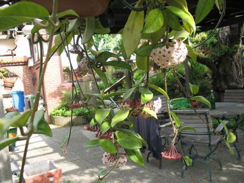 welche schnell wachsende schlingpflanze eignet sich f rs b ro pflanzen zimmerpflanzen. Black Bedroom Furniture Sets. Home Design Ideas