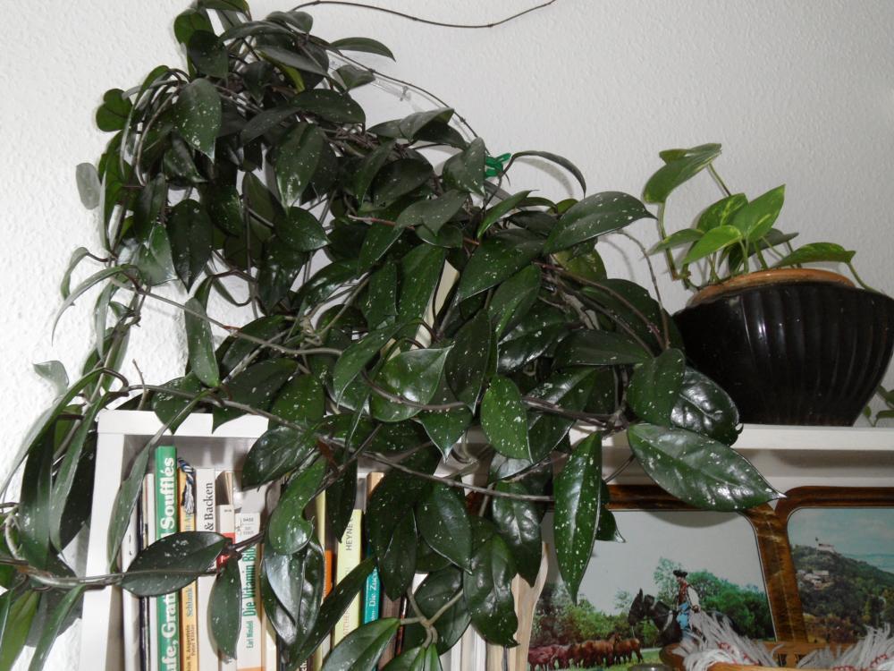 Kletternde zimmerpflanze pflanzenpflege zimmerpflanzen - Efeu zimmerpflanze giftig ...