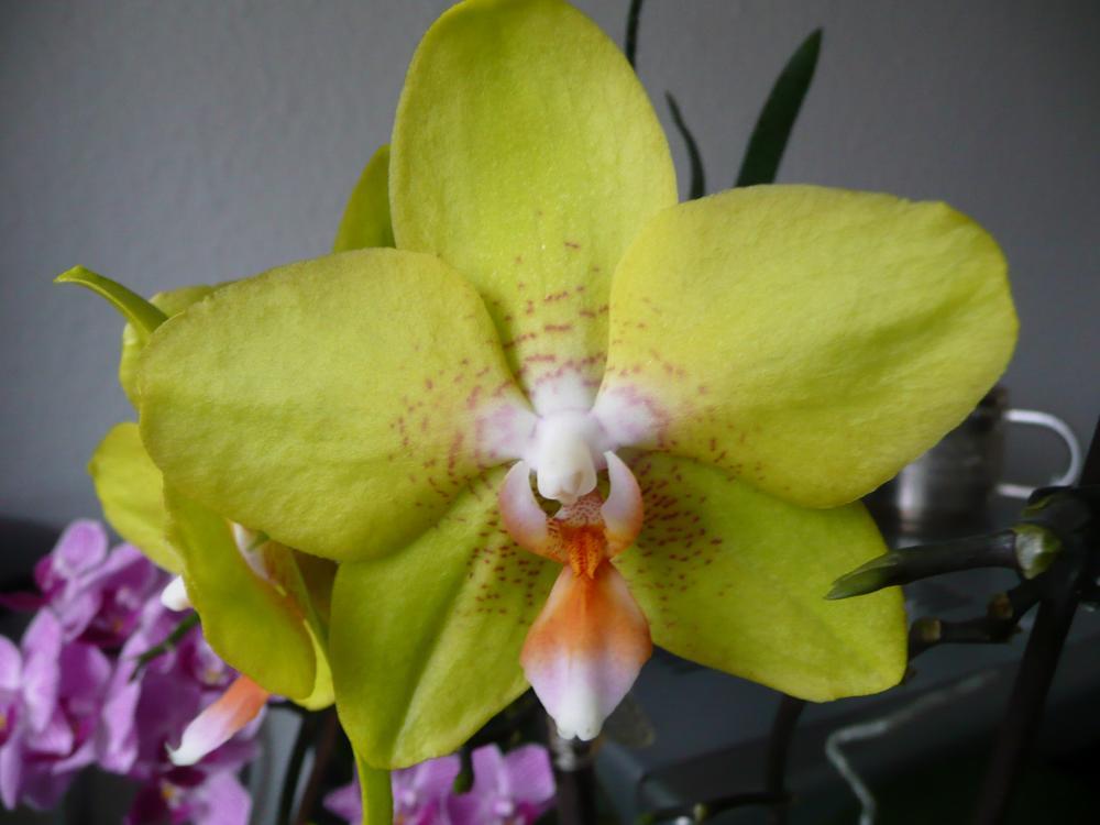 orchidee treibt aus standort wechseln pflege orchideen. Black Bedroom Furniture Sets. Home Design Ideas