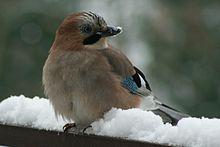 ... im Winter - (Vögel, Feder, Eichelhäher)