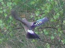 ... im Flug - (Vögel, Feder, Eichelhäher)