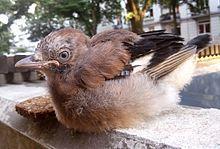 Jungvogel - (Vögel, Feder, Eichelhäher)
