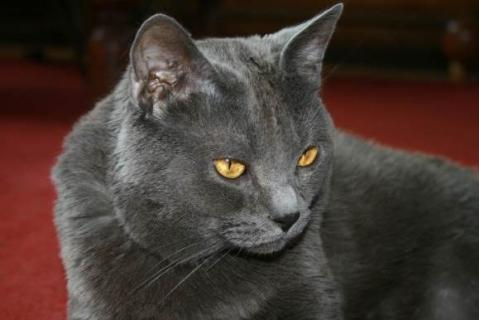 Karthäuser Katze - (Katzen, catwoman)