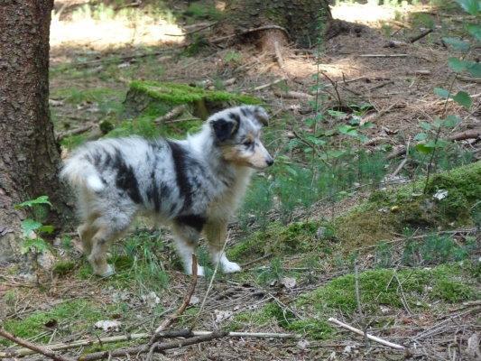 Sheltiewelpe Blue Merle - (Hund, Rasse)