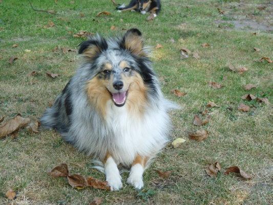 Sheltie in Blue Merle - (Hund, Rasse)