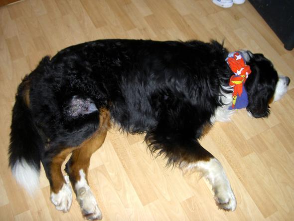 Hotspot in totaler - (Hund, Haustiere, Tierarzt)