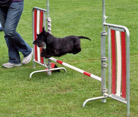 Schottenterrier beim Agility - (Hund, agility)