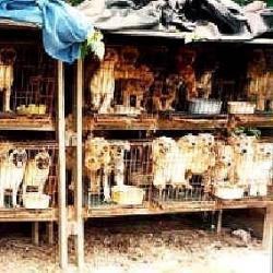Ne Puppymill = Welpenfabrik Wenn Hündin Glück hat stirbt sie bei Geburt - (Hund, Chihuahua)