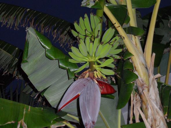 Bananenstaude bei Nacht aufgenommen - (Foto, Kamera, Tipps)