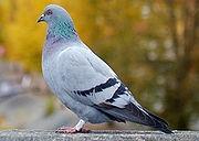 - (Tiere, Tauben)