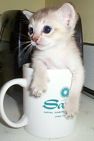 Singapura kleine Katze - (Katzen, Katzenkauf)