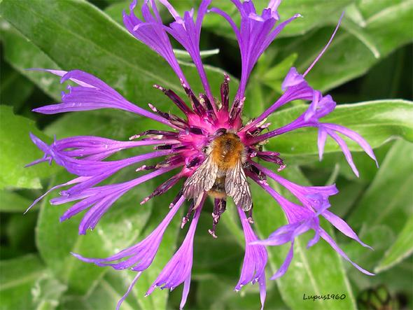 Berg-Flockenblume - (Foto, Garten, Pflanzen)
