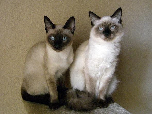 Das sind nicht meine katzen - (Siamkatzen, alte Katzen)