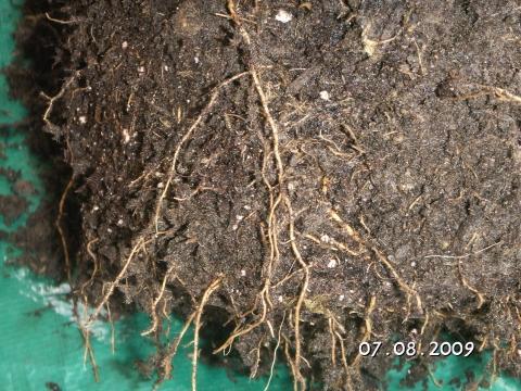 Wurzeln - (Pflanzenpflege, Bougainvillea)