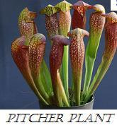 Pitcher plant - (Pflanzen, Pflanzenpflege)