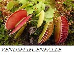 venusfliegenfalle - (Pflanzen, Pflanzenpflege)