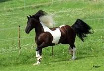 1) gescheckt - (Pferde, Flecken, gepunktet)