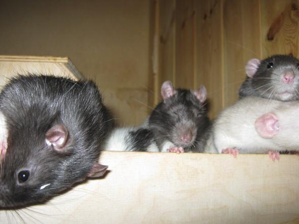:))  - (Namen, Ratten)