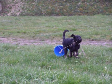 - (Hund, Welpen, Französische Bulldogge)
