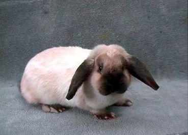 google-bilder ergebnis für zwerwidder ;) - (Kaninchen, schlapohr)