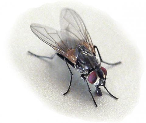Stubenfliege - (Insekten, beißen, Fliege)
