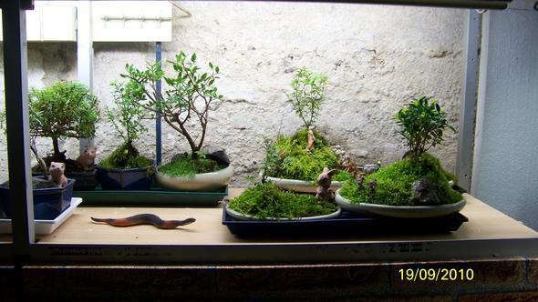 bonsai baum pflege freizeit pflanzen. Black Bedroom Furniture Sets. Home Design Ideas