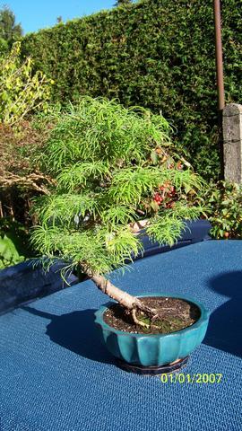 bonsai baum pflege pflanzen freizeit. Black Bedroom Furniture Sets. Home Design Ideas
