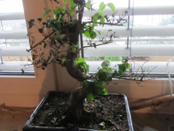 bonsaipflege bonsai verliert bl tter bildet aber neue. Black Bedroom Furniture Sets. Home Design Ideas