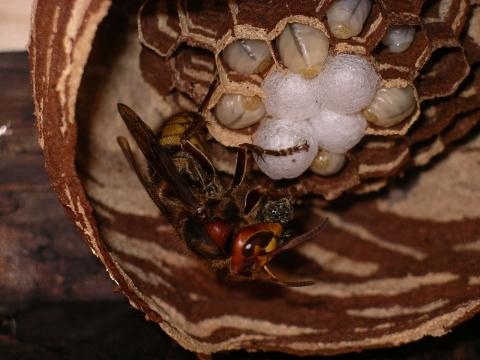 Hornissenkönigin beim füttern der Brut. - (Garten, Insekten)
