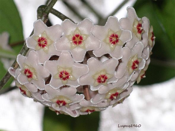Porzellanblume - (Pflanzen, Blumen, Botanik)