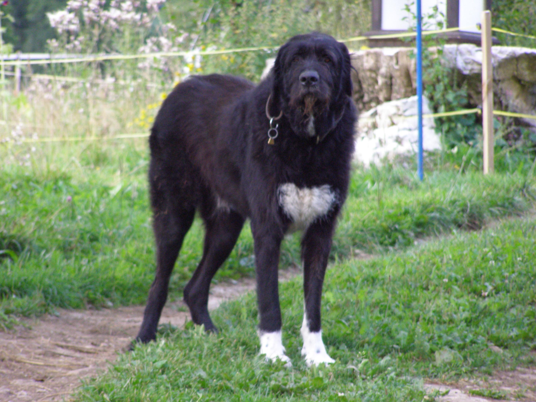 irischer wolfshund hund haustiere. Black Bedroom Furniture Sets. Home Design Ideas
