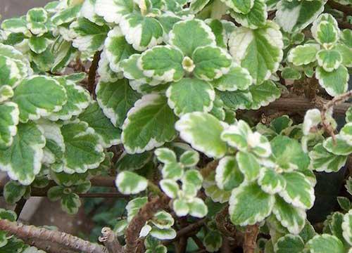 Hängepflanzen Winterhart : Immergrüner Balkonkasten (Biologie, Garten, Pflanzen)